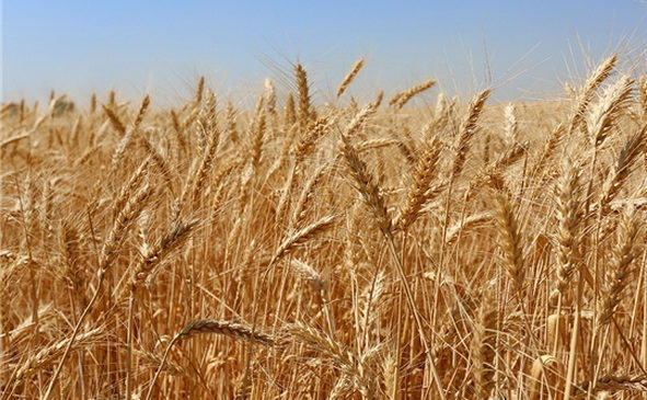 В Комсомольском районе убрано 5010 га зерновых и зернобобовых культур